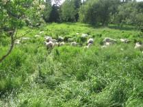 Mid Summer Pasture