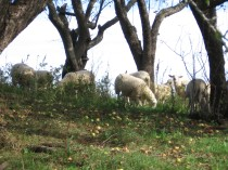 """Finishing Lambs - Combination of Good Pasture and """"Fresh"""" Apples"""