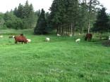 Livestock - July 2009
