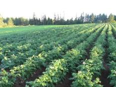 Potatoes and Buckwheat