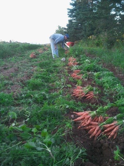 Picking Carrots for Market and CSA Pick-Up