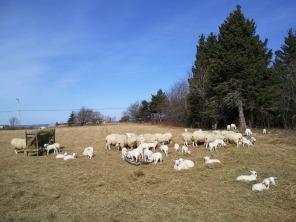 Lambs - Spring 2012