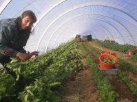 Ruth Harvesting Beet Greens - June 2012