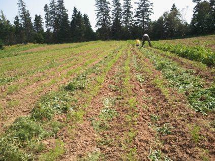 Weeding Storage Carrots - August 2012