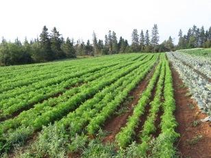 September 2012 - Storage Carrots