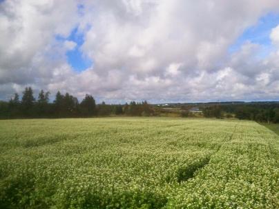 Buckwheat underseeded to Fall Rye