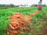Carrots Fall 2013