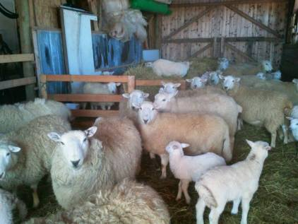 Week 15 - Sheep with lambs in the barn. This was the last lambing season for us as we sold all of our breading stock in the summer.