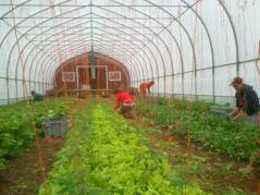 Week 23 - Greenhouse - Greens with transplanted tomatoes with Ruth, Tara, Xander and Peter.