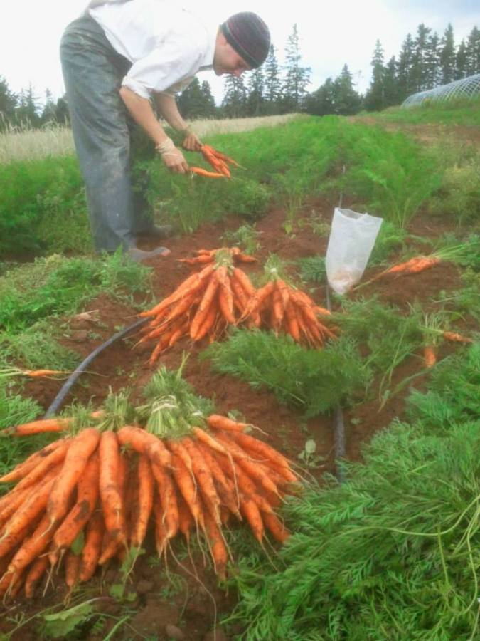 Week 31 - Xander picking the first bunching carrots of 2014