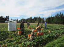 Week 45 - Harvesting Rutabaga - Kent, Vivienne, Kelley, Don, Ruth, Sarah, Sylvestre and Shane.