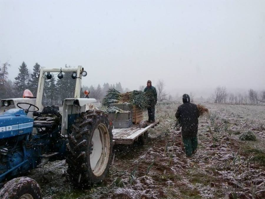 Week 47 - Ruth and Don picking leeks before (during) the first snow, 21 November 2014