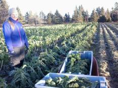 Week 50 - Emilie picking Kale. We picked kale until December 23rd this year!